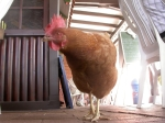 Lokal-Huhn in Westfalen. Noch denkt es, man könne Kameras essen.