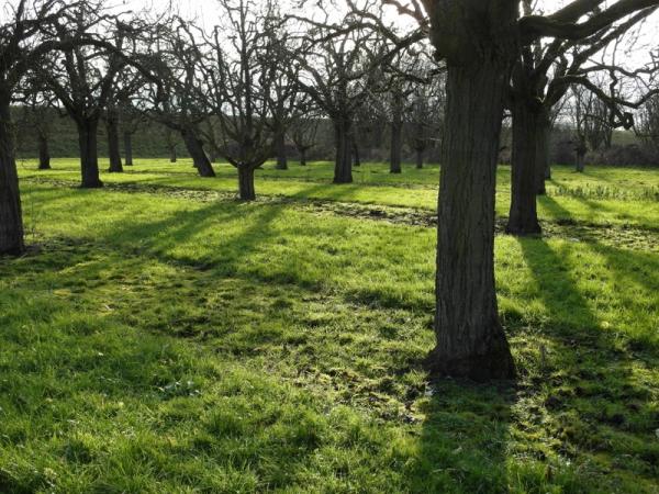 Apfelfeld in der Januarsonne.