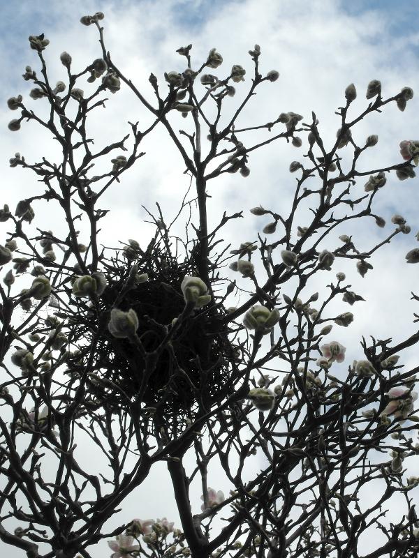 Vogelnest in einem Magnolienbaum kurz vor der Blüte