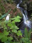Klee vor Wasserfall
