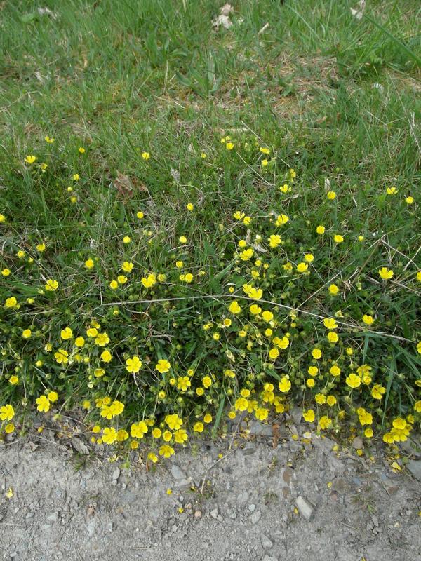 Böschung mit gelben Blüten.