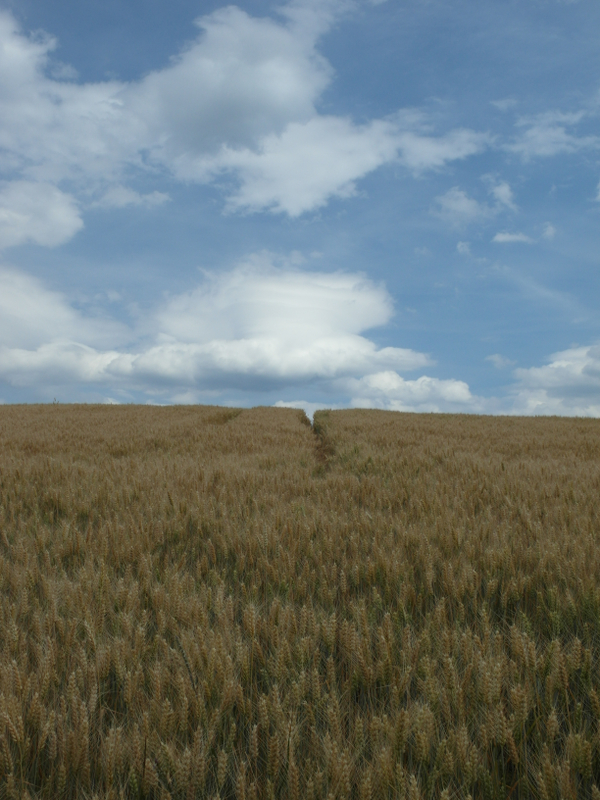 Reifendes Getreide.