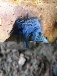 pilze-blau
