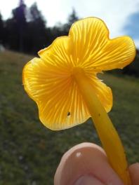 pilze-gelb